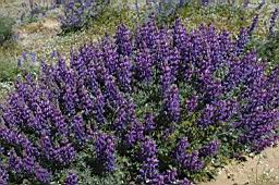 Grape-soda lupine is a perennial with a woody trunk.