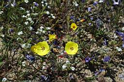 Suncups (Camissonia) and popcorn (Plagiobothrys)  flower